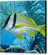 A Porkfish Swims By Sea Plumes Canvas Print by Terry Moore