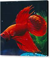 A Red Siamese Fighting Fish In An Canvas Print by Jason Edwards