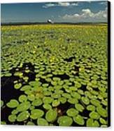 A River Delta Filled With Lily Pads Canvas Print