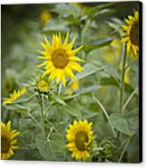 A Row Of Bright Yellow Sunflowers Grow Canvas Print