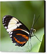 A Side View Of A Butterfly Canvas Print by Taylor S. Kennedy