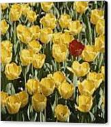 A Single Red Tulip Among Yellow Tulips Canvas Print by Ted Spiegel
