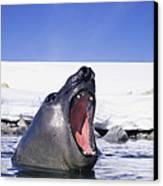 A Southern Elephant Seal, Mirounga Canvas Print by Bill Curtsinger