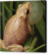 A Spring Peeper Calls For A Mate Canvas Print