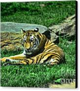 A Tiger's Gaze Canvas Print by Paul Ward
