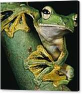 A Wallaces Flying Frog, Rhacophorus Canvas Print by Tim Laman