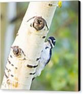 A Woodpeck Behind An Eye Of A Tree Canvas Print