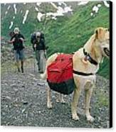 A Yellow Labrador, Wearing A Backpack Canvas Print by Rich Reid