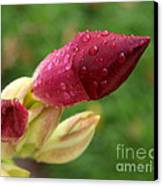 About To Bloom Canvas Print by Chris Hill