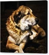 Adam - The Loving Dog Canvas Print by Bill Tiepelman