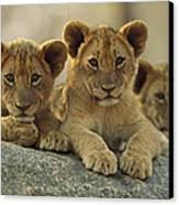 African Lion Three Cubs Resting Canvas Print by Tim Fitzharris