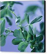 Alfalfa (medicago Sativa) Canvas Print