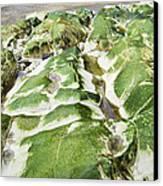 Algae Covered Rocks Canvas Print