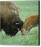 American Bison Cow And Calf Canvas Print