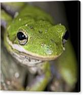 American Green Treefrog Canvas Print by Clay Coleman