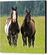 American Paint Stallion And Mare Canvas Print