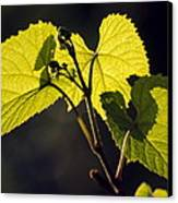 Amur River Grape Leaves (vitis Amurensis) Canvas Print