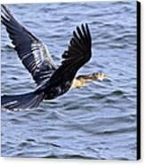 Anhinga In Flight Canvas Print