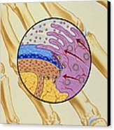Artwork Of The Mechanism Of Rheumatoid Arthritis Canvas Print by John Bavosi