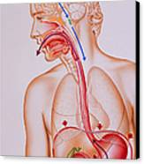 Artwork Of Vomiting Mechanism In Human Body Canvas Print