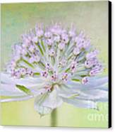 Astrantia Art Canvas Print by Jacky Parker