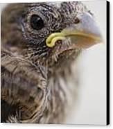 Baby Bird 3 Canvas Print by Jessica Velasco