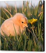 Baby Chick In Green Grass Canvas Print by Cindy Singleton