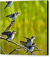 Baby Tree Swallows Feeding #1 Canvas Print