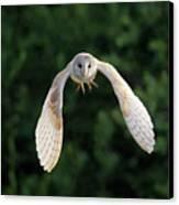 Barn Owl Flying Canvas Print by Tony McLean