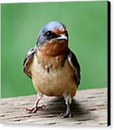 Barn Swallow Canvas Print by Angie Vogel