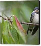 Barn Swallow Hirundo Rustica Fledgling Canvas Print by Cyril Ruoso