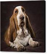 Basset Hound On A Brown Muslin Backdrop Canvas Print