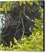 Bear In A Tree Canvas Print