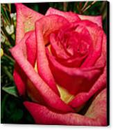 Beautiful Rose Canvas Print by David Alexander