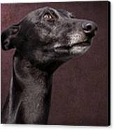 Beautiful Whippet Dog Canvas Print by Ethiriel  Photography