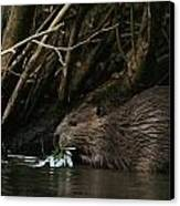 Beaver Building A Dam, Ozark Mountains Canvas Print by Randy Olson