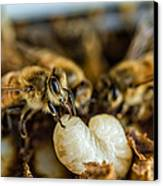 Bees Tending Larva Canvas Print by James Bull