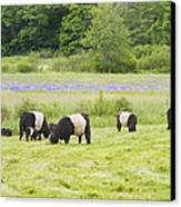 Belted Galloway Cows Pasture Rockport Maine Photograph Canvas Print
