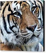 Bengal Canvas Print by Elizabeth Hart