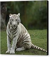 Bengal Tiger Panthera Tigris Tigris Canvas Print