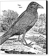 Bewick: Raven Canvas Print by Granger