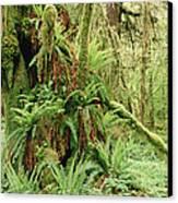 Bigleaf Maple Acer Macrophyllum Trees Canvas Print