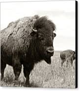 Bison And Calf Canvas Print by Olivier Le Queinec