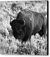 Bison In Black And White Canvas Print