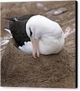 Black-browed Albatross Nesting Canvas Print by Charlotte Main