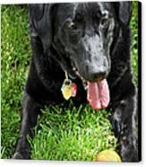 Black Lab Dog With A Ball Canvas Print by Elena Elisseeva