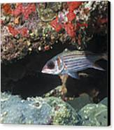 Blackfin Squirrelfish Swimming Canvas Print