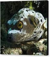Blackspotted Puffer Canvas Print by Matthew Oldfield