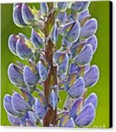 Blooming Lupine Canvas Print by Sean Griffin