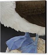 Blue-footed Booby Sula Nebouxii Canvas Print by Pete Oxford